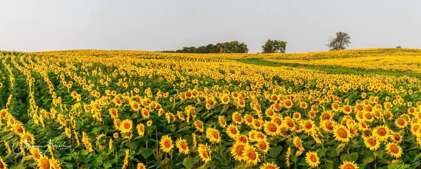 Long suflowers